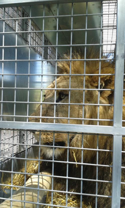 Leon dentro de una de las cajas de transporte