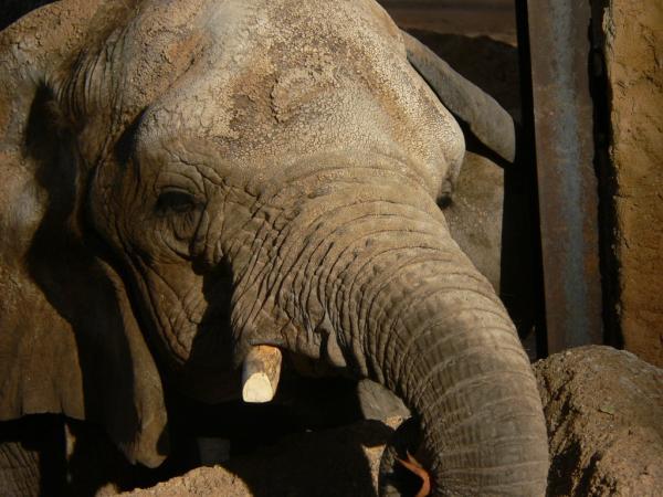 El Zoo de BCN corta los colmillos a las elefantas para forzar su asociación