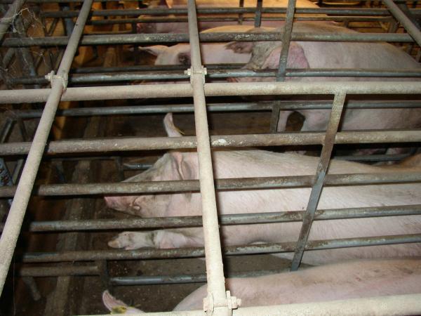 Pig Business; la pelicula que expone el precio real de la carne barata