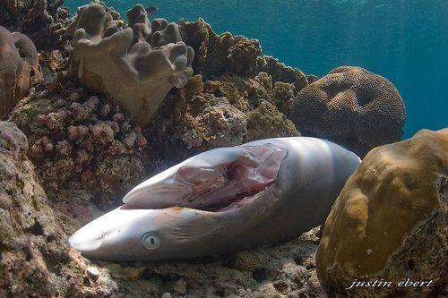 ¿Qué hay tras las cápsulas de cartílago de tiburón?