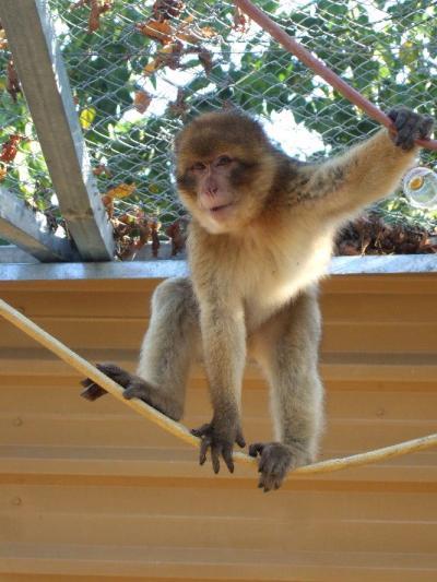 Reintroducción de dos macacos maltratados : Oscar y Fez