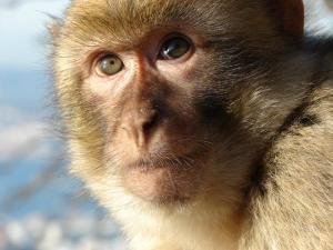 Campa�a Paso del Estrecho: Defendiendo al Macaco de Berber�a