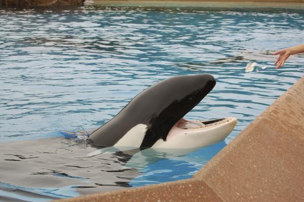 SeaWorld anuncia el cese de sus programas de reproducción en orcas