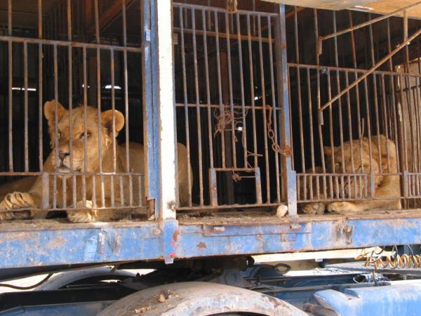 Alojamiento, entrenamientos, espectáculos: todas las problemáticas de los animales de circo