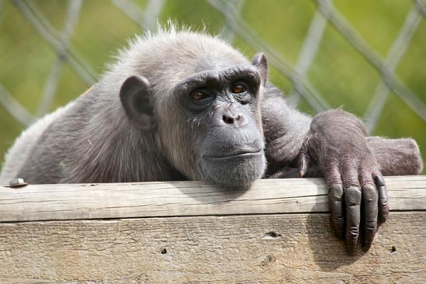 Día Mundial de las especies en peligro de extinción: tigres, elefantes, chimpancés, etc.
