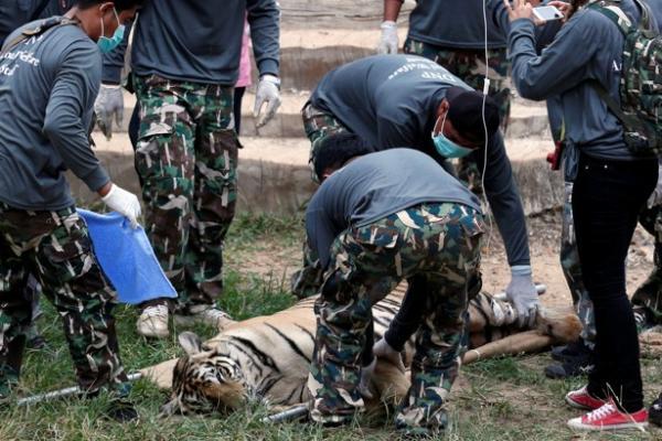 Las autoridades decomisan los tigres del Tiger Temple de Tailandia