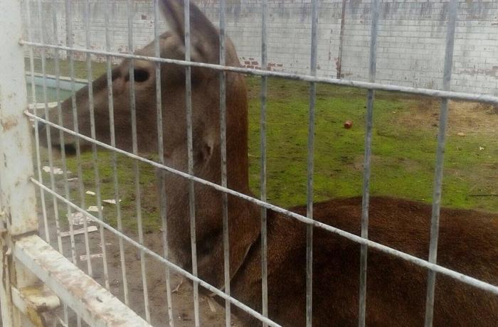 Cuenta atrás para salvar la cierva que vive en la piscina de un restaurante de Zamora