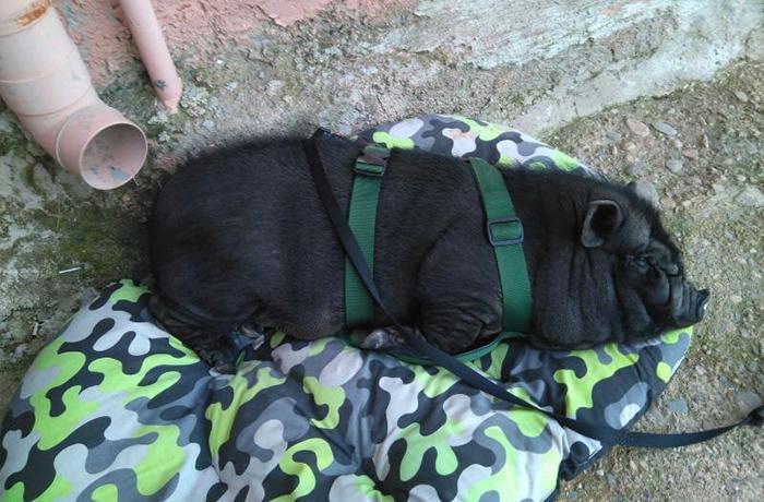Reubicamos a otro cerdo vietnamita abandonado
