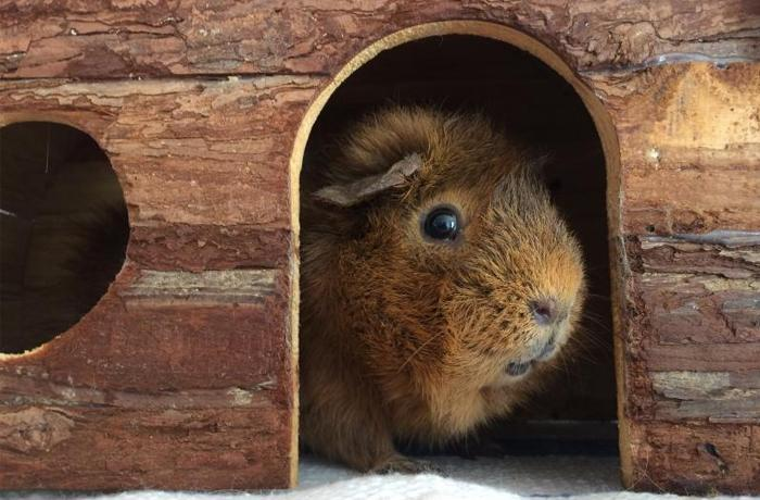 Llamamiento urgente para encontrar adoptantes para cobayas y otros animales