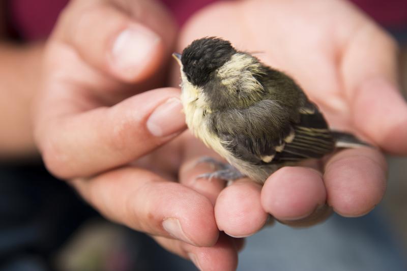 Cómo actuar si encuentras un polluelo desamparado