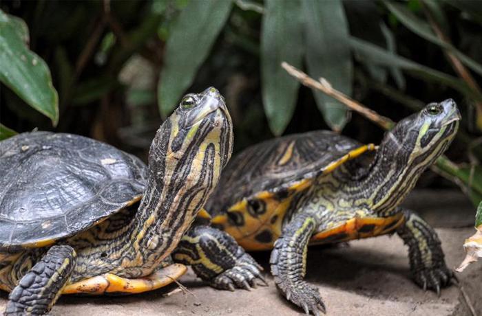 Los casos de tortugas abandonadas no bajan