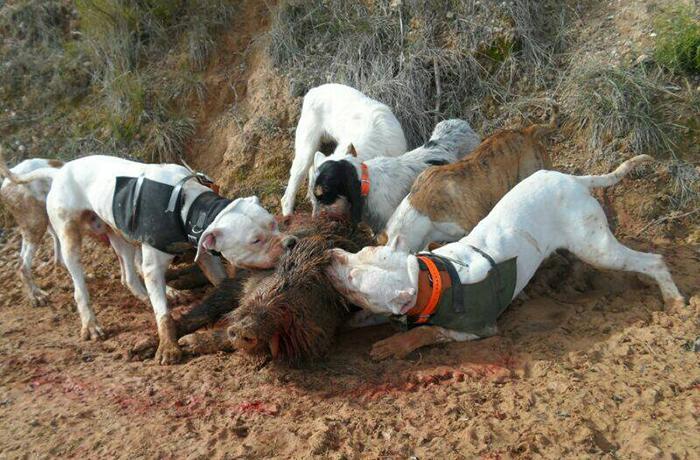 Conseguimos 6.000€ de multa y la inhabilitación para el hombre que hacía sparring con perros y cerdos vietnamitas