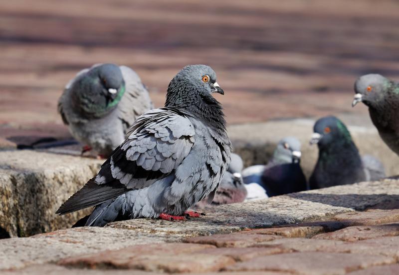 Colaboramos en la edición de unos dipticos sobre el control ético de palomas