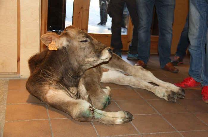 Denunciamos a un ganadero de Lleida que dejó un ternero gravemente herido en la oficina del Parque Natural de Llavorsí