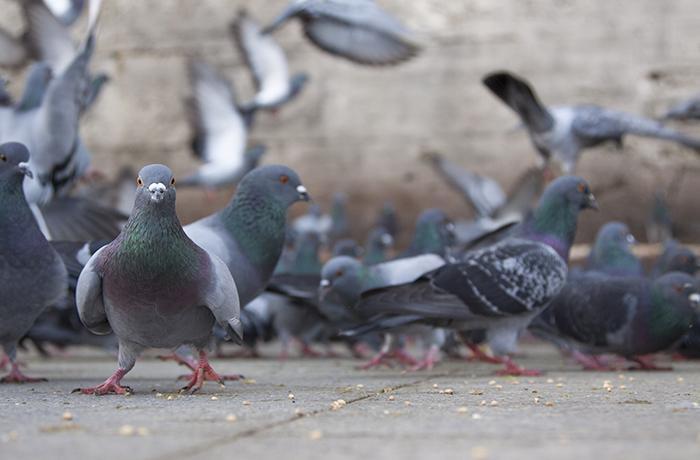 Entidades protectoras denunciarán a los que tapiaron a palomas en un local