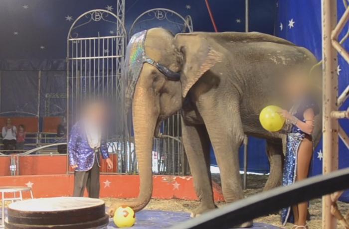 Dumba de nuevo víctima de explotación en un circo de Francia