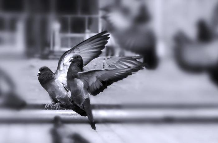 FAADA en Plaza Catalunya para el control ético de palomas