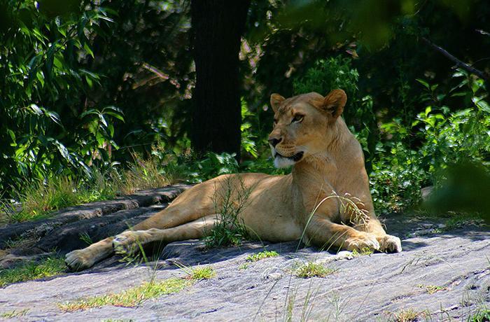 Pedimos el decomiso de un león utilizado para fotos eróticas
