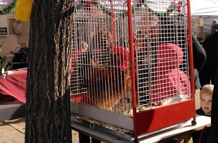 Volvemos a denunciar al Ayuntamiento de Cardedeu por la exhibición del gallo de la Feria de Navidad