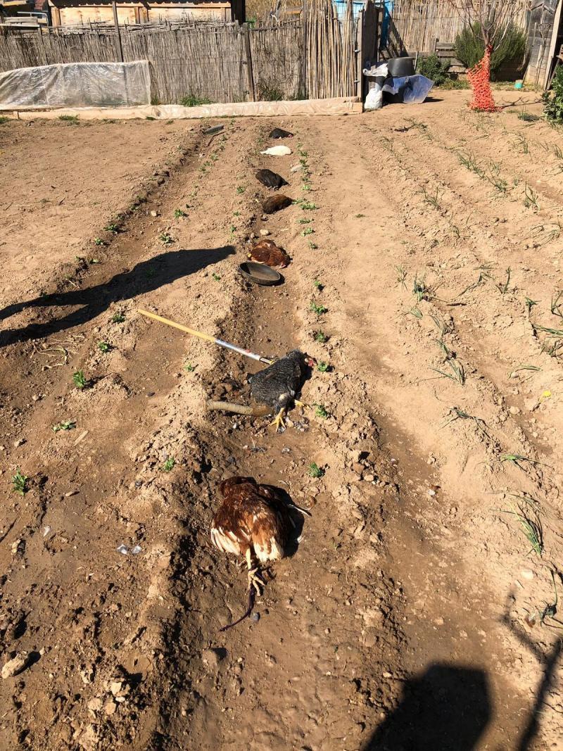 FAADA denunciará la tortura y muerte de 7 gallinas en un huerto del Vallés Occidental