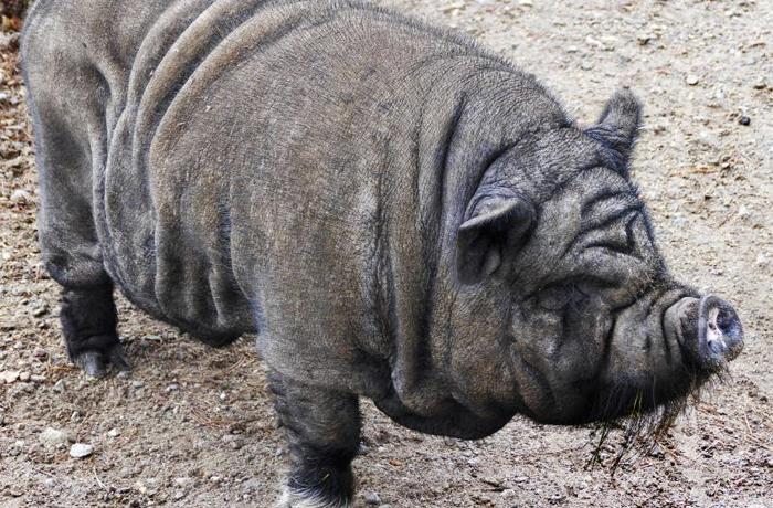 Los cerdos vietnamitas son declarados especie invasora