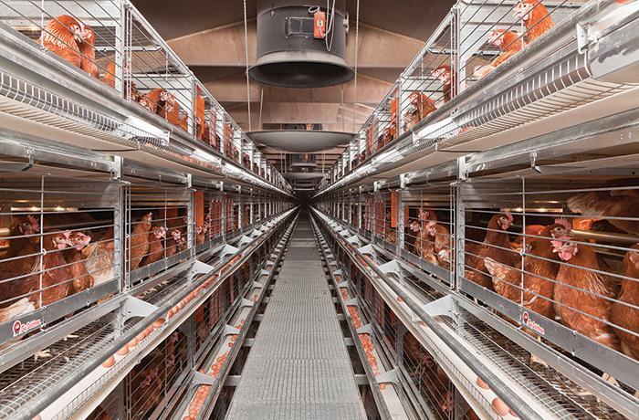 #EndTheCageAge: el caso de las gallinas ponedoras