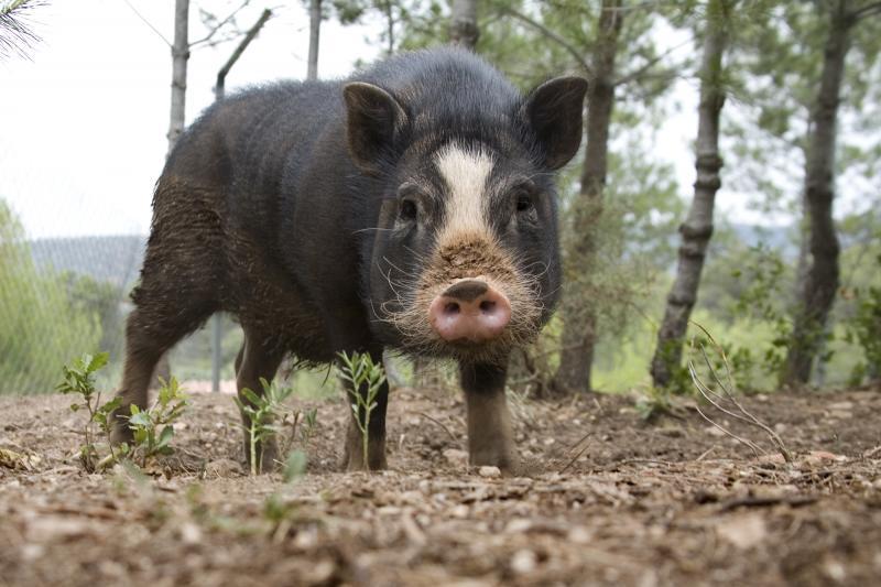 Buscamos soluciones para los cerdos vietnamitas sueltos en Tarragona