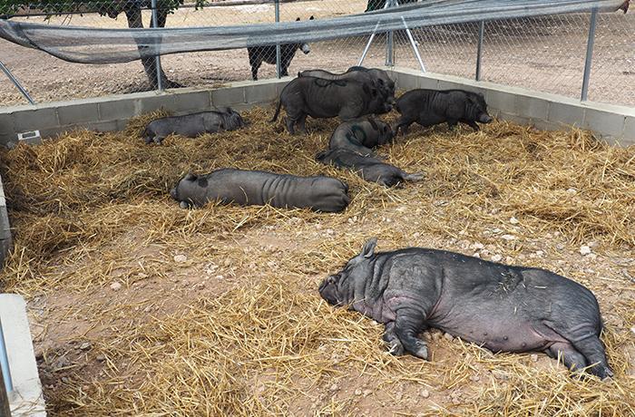 Rescate de los cerdos vietnamitas de Tarragona