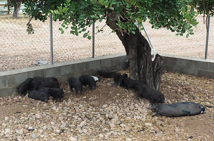 Comunicado sobre los cerdos vietnamitas de Tarragona