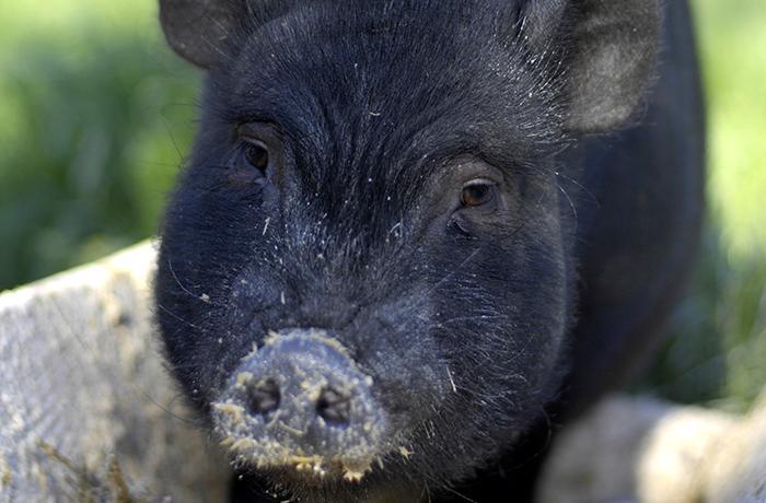 Reiteramos a la Generalitat que lleve a cabo una gestión ética de los cerdos vietnamitas