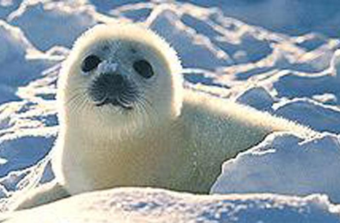 Gran concentración en la embajada de Canadà contra la matanza de focas