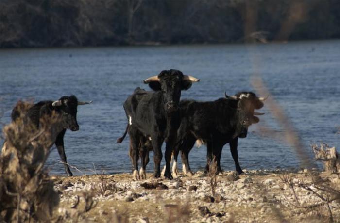 Felicitamos a la Generalitat de Catalunya por la buena gestión de los toros de la Isla de Vinallop