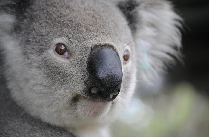 Más de 1000 millones de animales mueren en los incendios de Australia