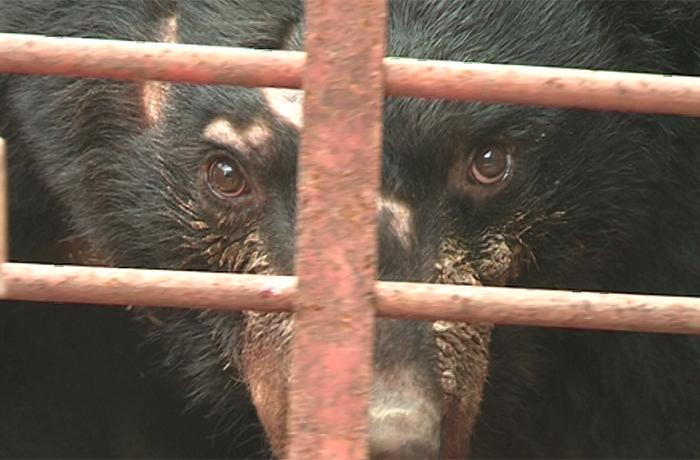 China promueve la bilis de oso como tratamiento para la COVID-19