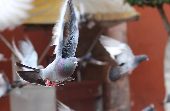 La alimentación de las palomas durante el confinamiento