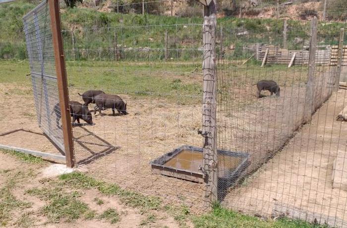 "La familia de ""cerdolíes"" de Rubí, ¡salvada!"