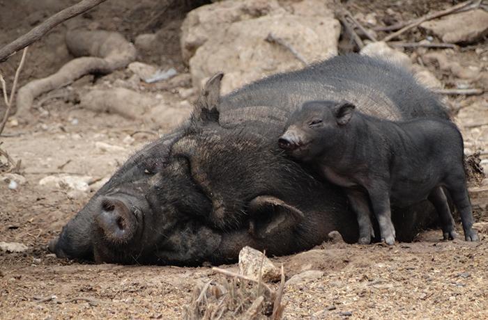 ¡Victoria! La Generalitat de Catalunya publica el plan de gestión para los cerdos vietnamitas