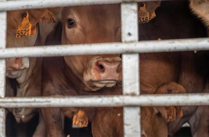 Los Países Bajos detienen la exportación de animales vivos