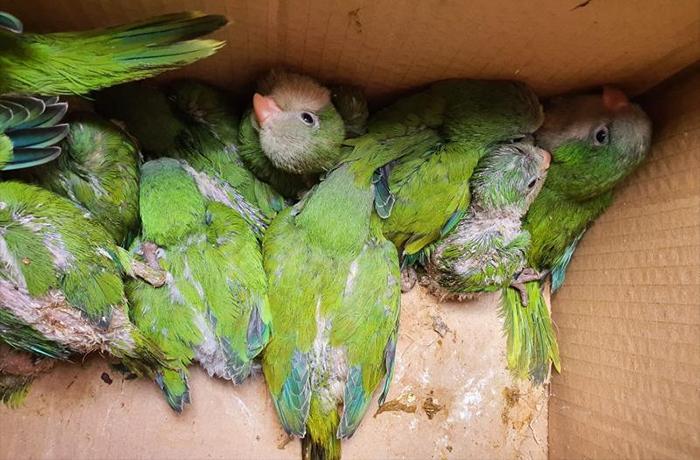 Denunciamos la muerte de varios polluelos en la poda de árboles de Vilassar de Mar