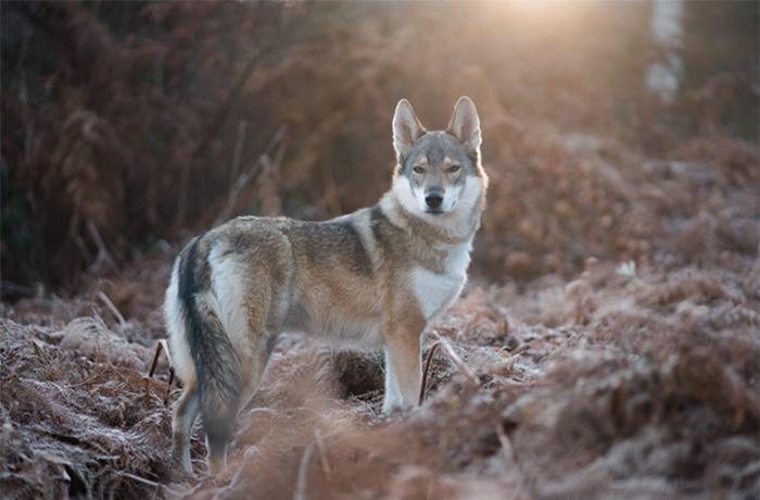 Los ciudadanos de la Unión Europea se alzan en defensa de los lobos
