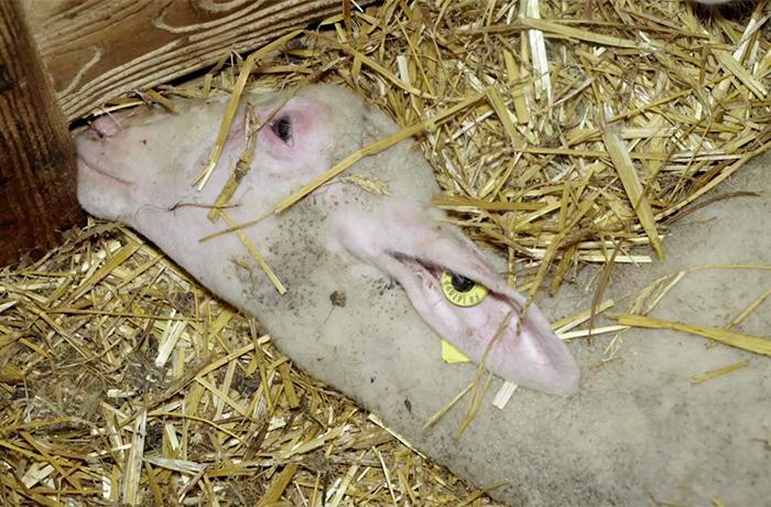Terribles irregularidades en la cría y matanza de los corderos explotados para el queso Roquefort