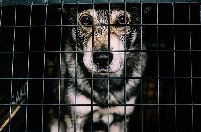 Siem Reap, importante ciudad turística camboyana, prohibe la carne de perro