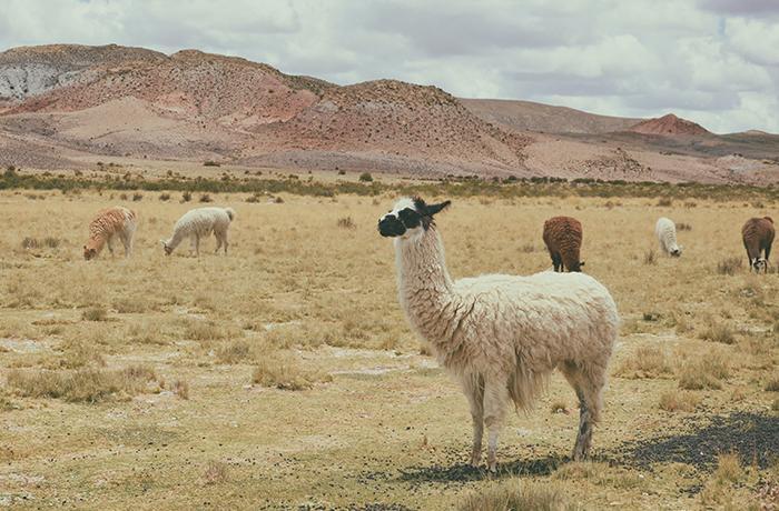 Uniqlo deja de utilizar la lana de alpaca