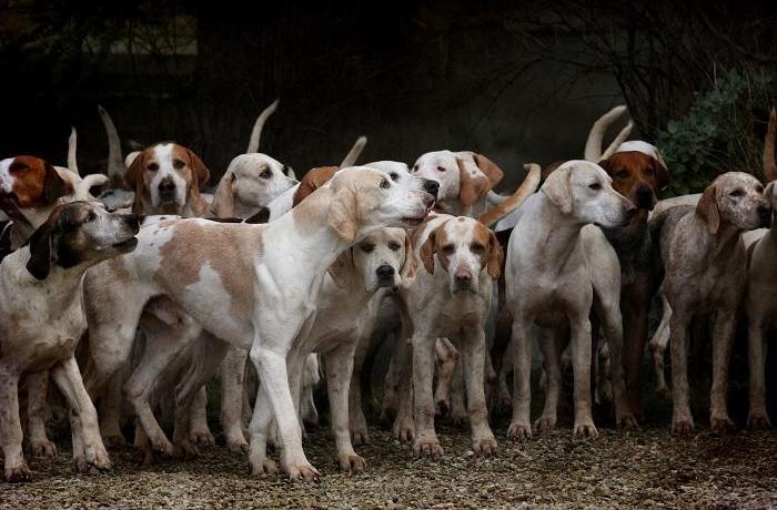 La Generalitat de Catalunya dispuesta a rebajar ulteriormente el bienestar de los perros utilizados para la caza ante la presión del sector