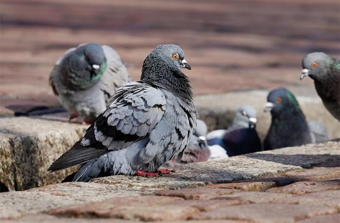 Barcelona: el tratamiento anticonceptivo reduce a la mitad la población de palomas