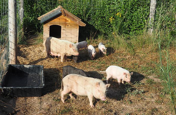 URGENTE: te necesitamos para ayudar a una familia de 9 cerdos vietnamitas