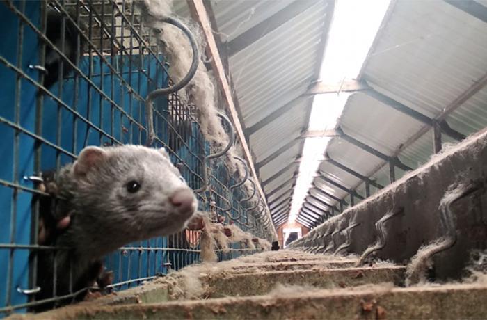 Al descubierto los horrores de la granja de pieles más grande del mundo
