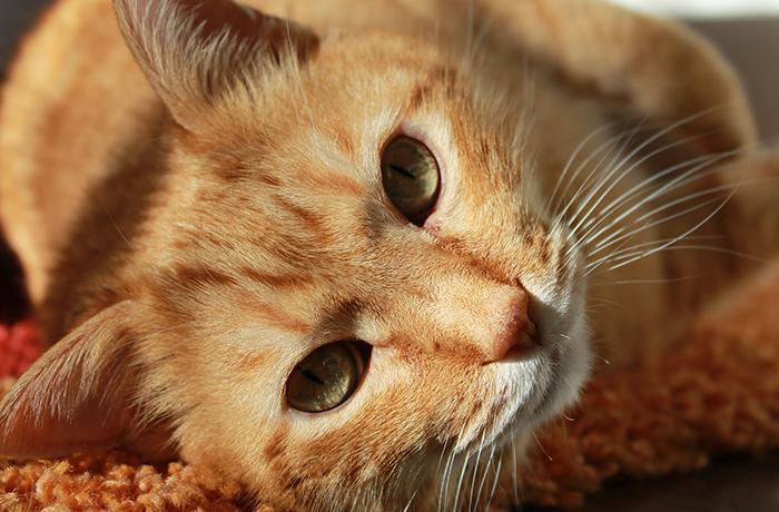 Confirmado: los gatos generan una respuesta inmunitaria eficaz contra la COVID-19 y no pueden transmitirla a las personas