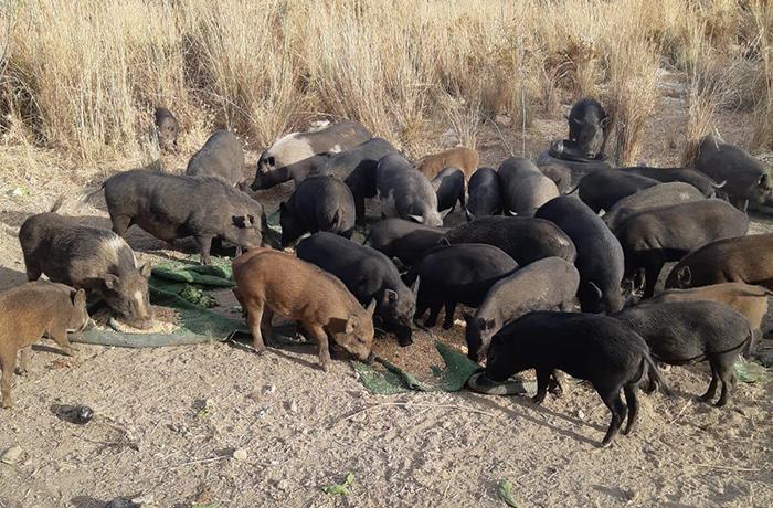 Cientos de cerdos buscan un hogar