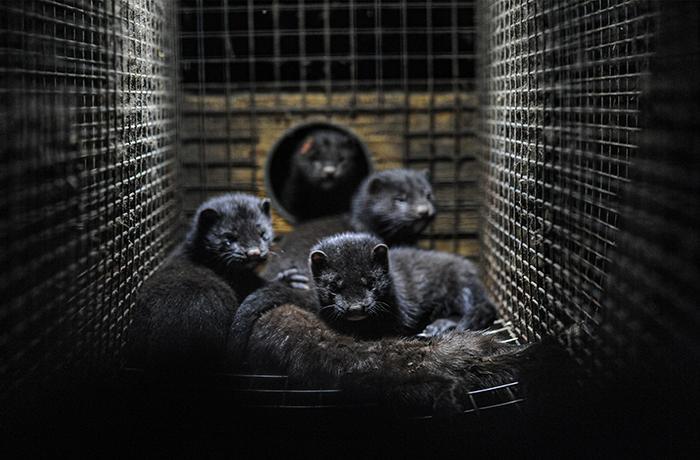 Pedimos a la UE la suspensión inmediata de la cría de visones en toda Europa